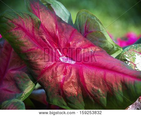 Close up of water droplet on Caladium 'Brandywine' leaf