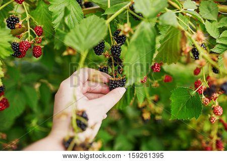 Woman Gathering Fresh Blackberries Ripen On Farm