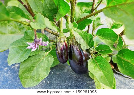 Eggplants Ripen At Organic Farm