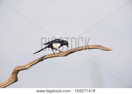 Eurasian Magpie Perching On A Dead Branch.
