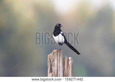 Eurasian Magpie Perching On A Dead Tree Trunk.