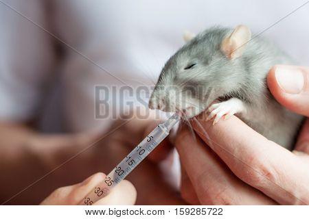 Treatment beloved pet blue rat at home