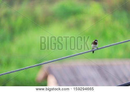 ricebird selective focus perched on an electricity wire.