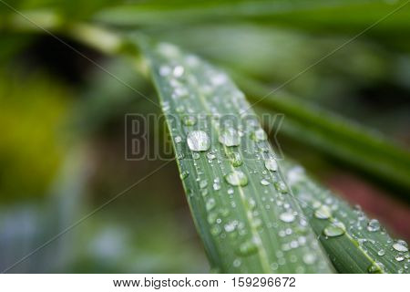 Close up Water droplets on a green leaf after rain.