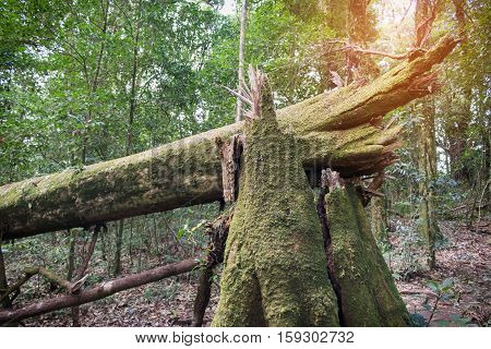 Old big tree felling in forest Thailand.