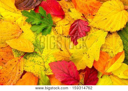 background of bright fallen autumn leaves close-up top view