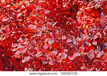 The Thunberg barberry (Berberis thunbergii `Coronita`). Branch closeup