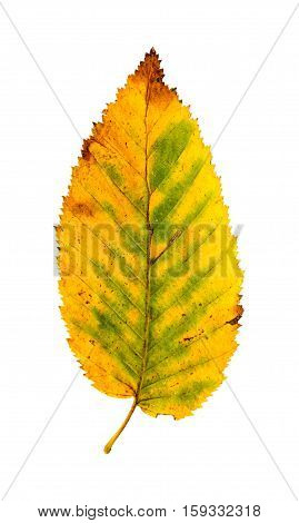 Close-up Photograph Of A Withering Autumnal Common Beech Tree Leaves Isolated On White Background