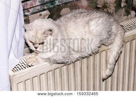 purebred gray house cat sits on a heating battery
