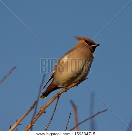 A Bohemian Waxwing takes a rest on a Hawthorn branch on Holy Island, Lindisfarne, Northumberland, UK. Exhausted after flying over the sea on migration it recovers ready to feed