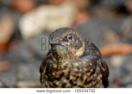 A young Starling stares inquisitively ahead in garden leaf litter