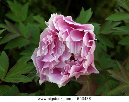 Rosa peonía