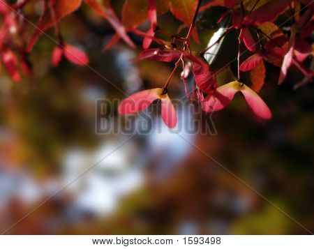Red Maple Seeds