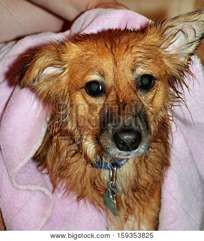 Drying off wet mixed breed brown dog after bath