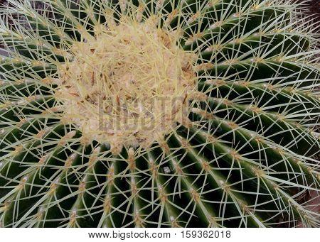 Golden Barrel Cactus