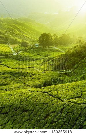 Green Tea Bud And Fresh Leaves. Tea Plantations In Munnar, Kerala, India