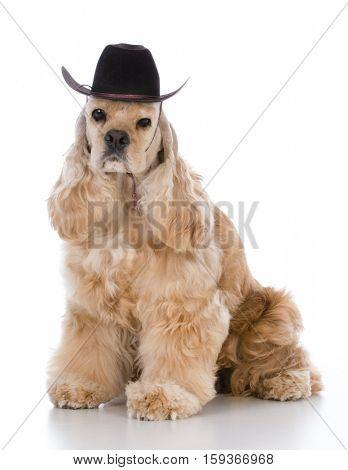 cocker spaniel wearing western hat on white background