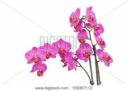 Purple orchid flower with veins isolated on a white background