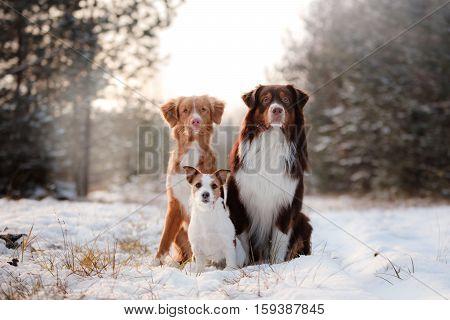 Nova Scotia Duck Tolling Retriever dogs Australian shepherd and Jack Russell terrier together