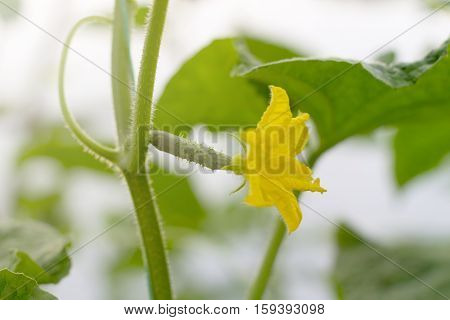 Young Cucumber Plant In Garden. Cucumber Growing In Garden