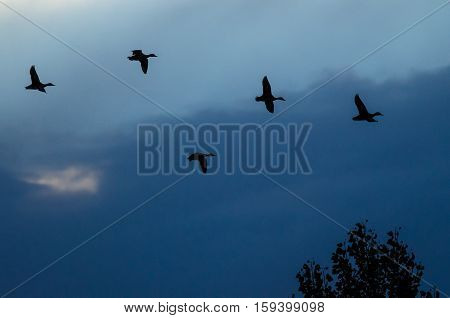 Silhouetted Ducks Flying in the Sunset Sky
