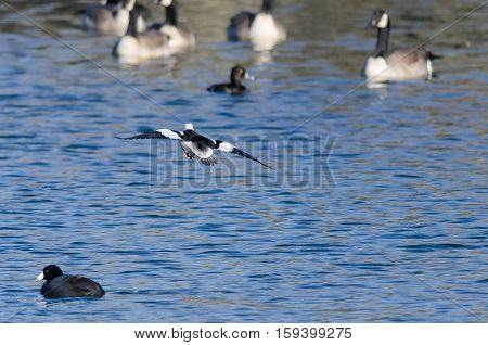 Bufflehead Duck Coming in for a Landing on the Cold Blue Water