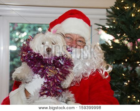 Santa Claus holds a beautiful white dog in front of a Christmas tree. Santa Christmas.