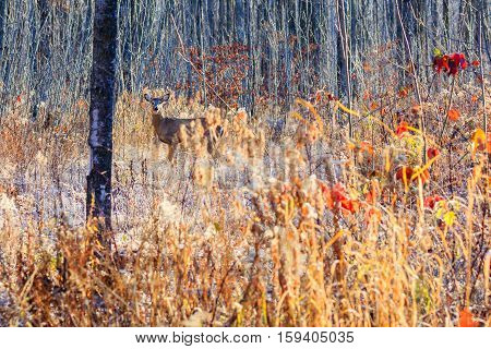 Small white-tailed buck deer standing alert in the autumn woods of Wisconsin.