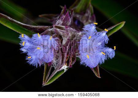 Cyanotis Fasciculata Schult.f., Commelinaceae