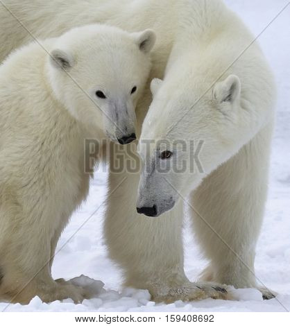 Close up head and shoulders image of a polar bear sow with her cub.  Churchill, Manitoba, Canada.