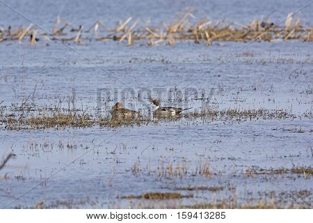 Northern Pintail male and female in a wetland pond in the Cameron Prairie National Wildlife Refuge in Louisiana