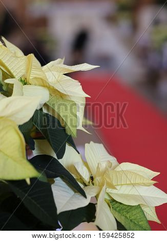 Poinsettia plant with light white leaves into the church during the wedding ceremony