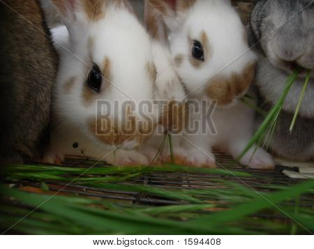 two white and brown bunnies eating on