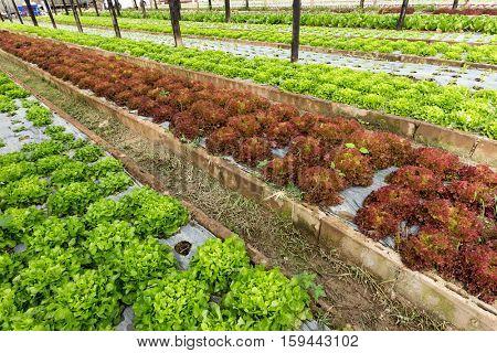 Organic lettuce field near chiang Mai, Thailand