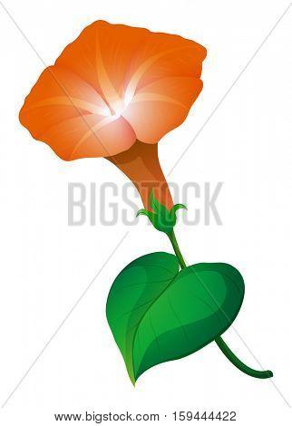 Morning glory flower in orange color illustration