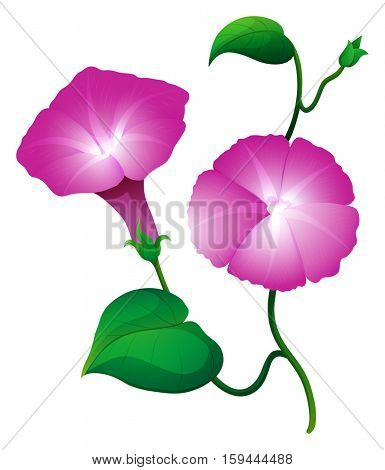 Two morning glory flower in pink color illustration