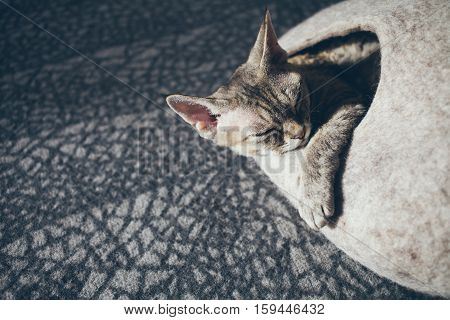 Close-up of happy Devon Rex cat who is sleeping in felted warm pet bed. Cat likes comfortable cat cave made of wool - simple, minimal handmade design. Sun light. Copy-space blank for your advertisement text