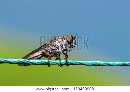 Robber Fly, Assassin Fly (asilidae)