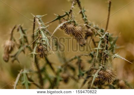 Dry thorn in the meadow in autumn.