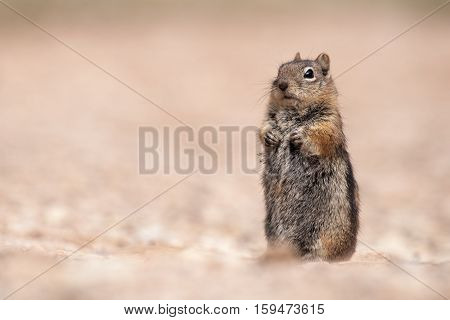 Golden-mantled ground Squirrel in Bryce Canyon National Park
