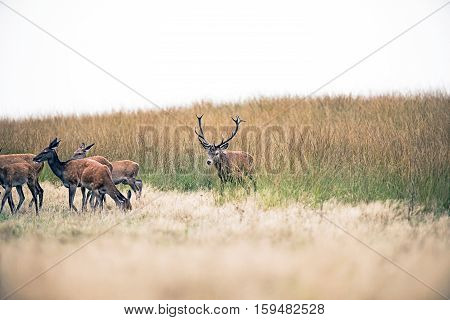 Red Deer Stag In Mating Season Chasing Hinds. National Park Hoge Veluwe. The Netherlands.