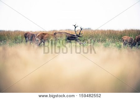 Red Deer Stag Smelling A Hind Lying In Field During Rutting Season. National Park Hoge Veluwe. The N
