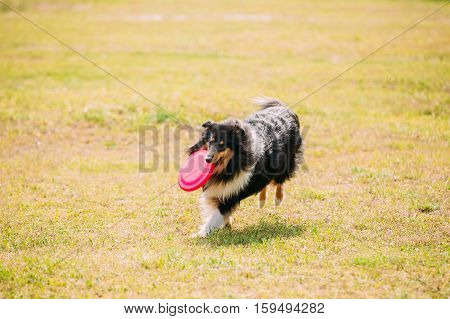 The Tricolor Rough Collie, Scottish Collie, Long-Haired Collie, English Collie, Lassie Adult Dog Playing Frisbee Freestyle With Concave Plastic Pink Disk On Trimmed Lawn.