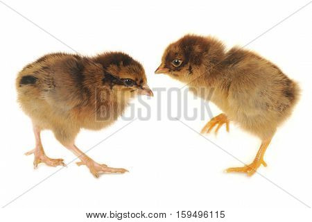 Two Chick