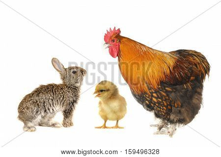 baby grey rabbit, chick and rooster on white