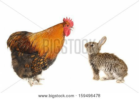 baby grey rabbits and thoroughbred brown rooster on a white background