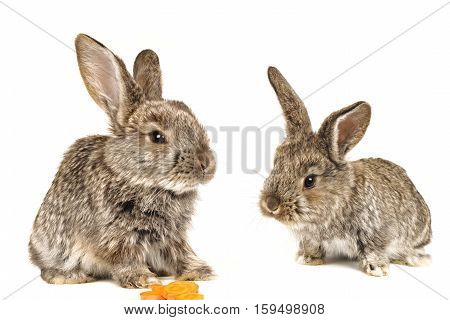 two baby grey rabbits on a white background