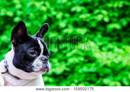 Animals love pets outside concept. Little cute black and white french bulldog captured in green park