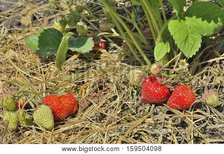 A close up of the strawberry with berries on garden-bed.