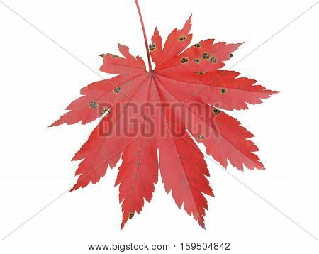 A close up of the red leaf of autumn maple. Isolated on white.